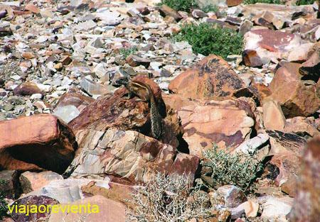 musmon del desierto